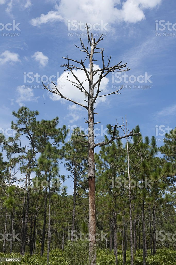 Dead Tree, Pine Flatwoods stock photo