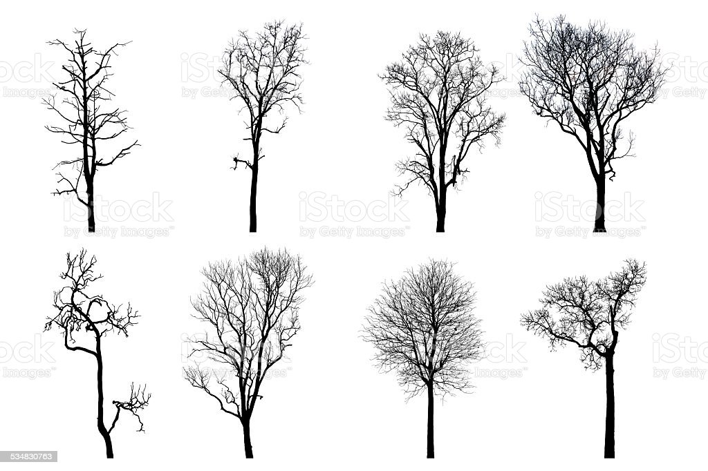 Dead tree silhouette.   without leafs isolated on white stock photo
