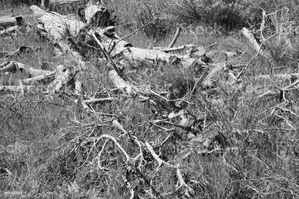Dead Tree Trunk Branches Overgrown Chaparral Monochrome stock photo