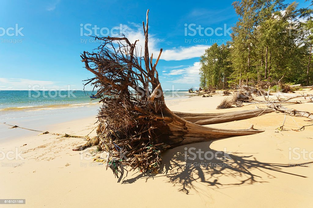 Dead tree trunk on beach stock photo