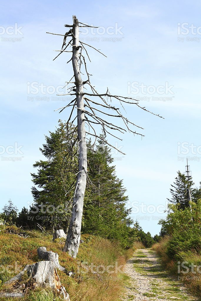 dead tree with trail Black Forest royalty-free stock photo