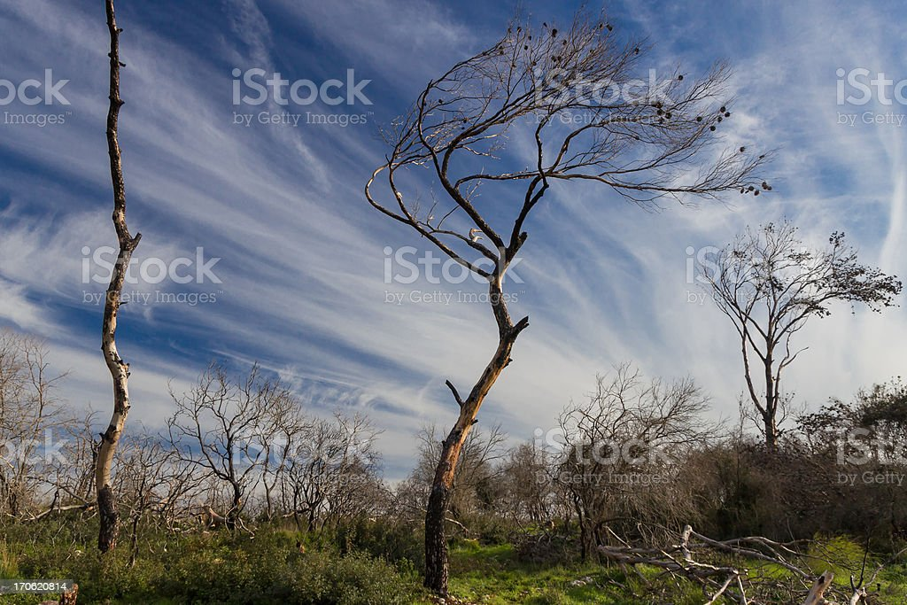 Dead trees after a forest fire royalty-free stock photo