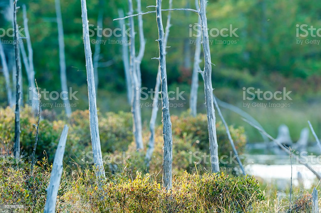 Dead trees along pond stock photo