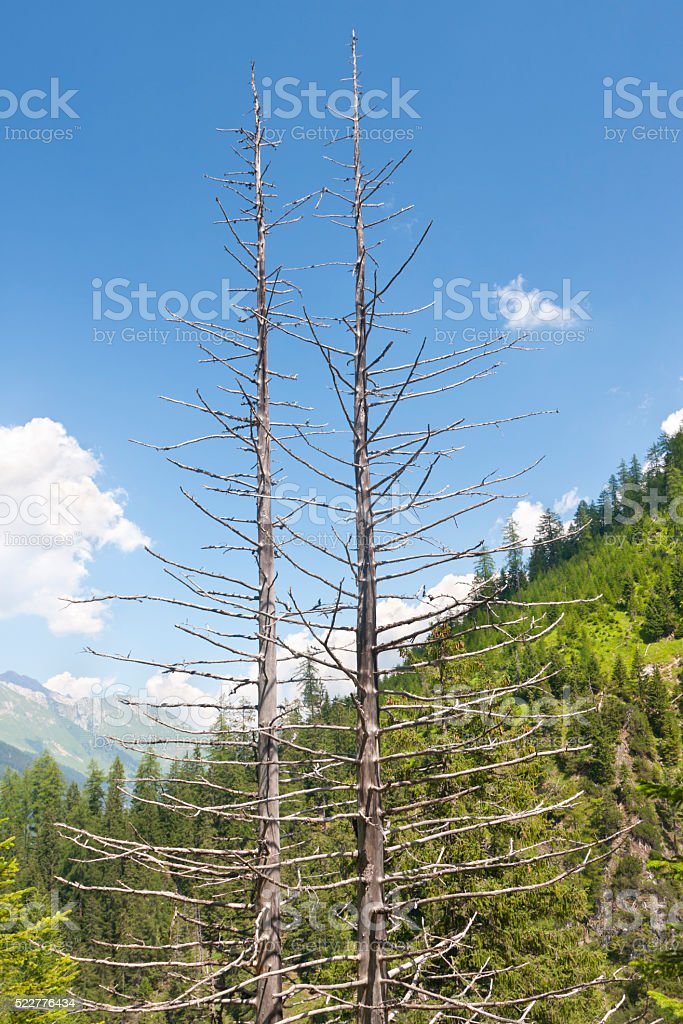 Dead Trees, Austria stock photo