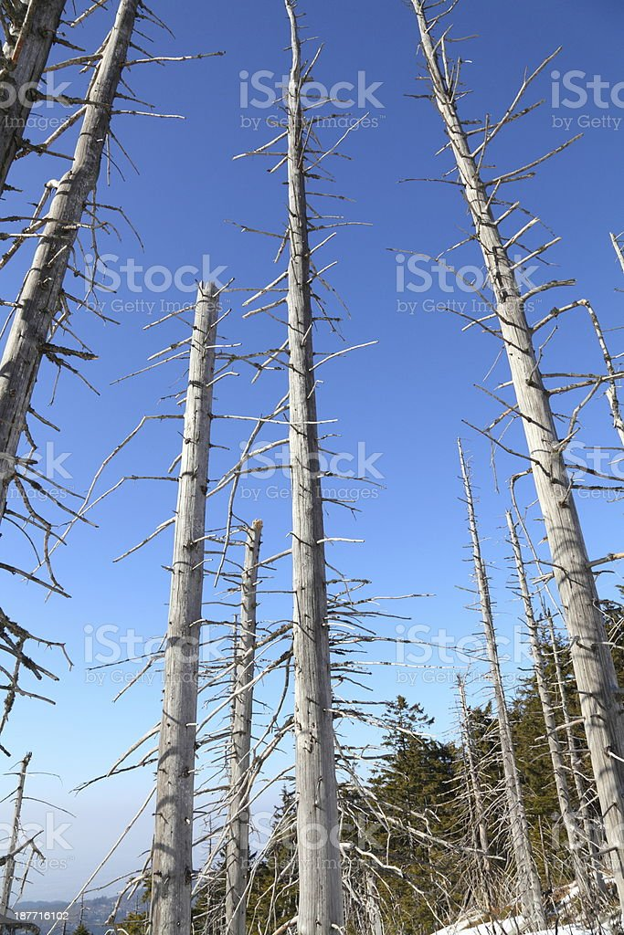 dead trees in forest by acid rain stock photo