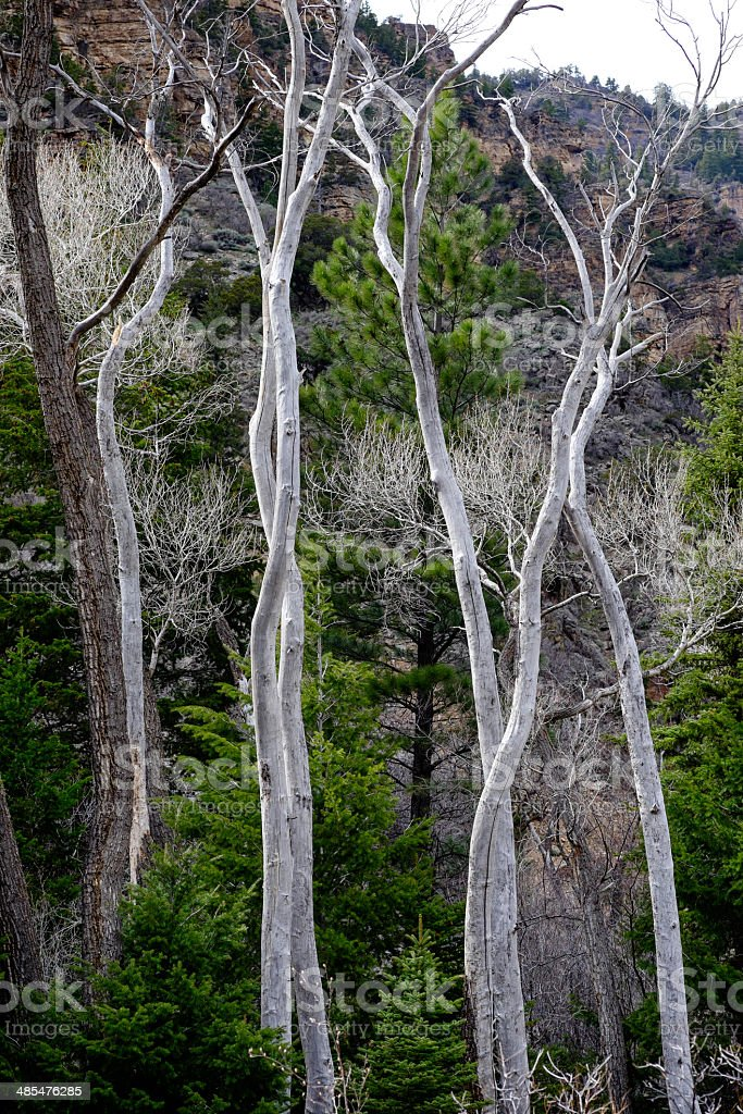 Dead Trees in Scenic Canyon stock photo