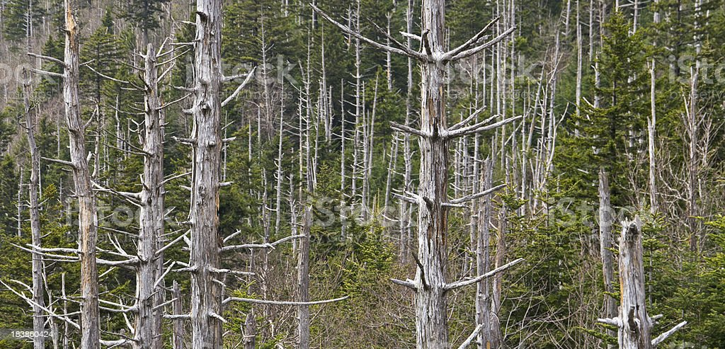 Dead Trees in the Smoky Mountains royalty-free stock photo