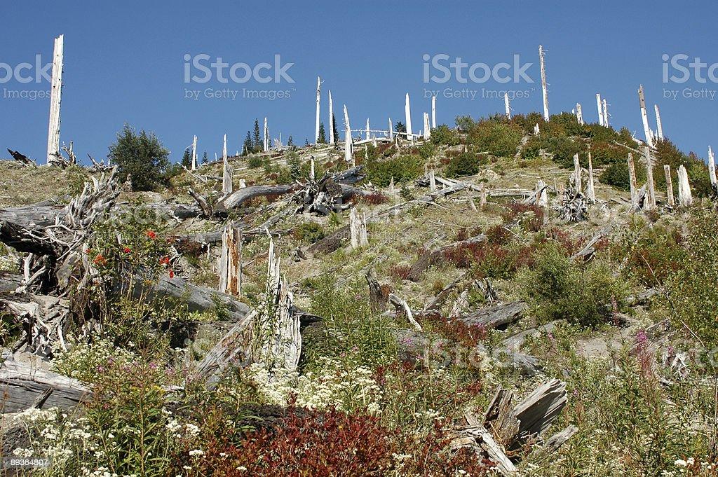 Dead trees on Mount St. Helen royalty-free stock photo