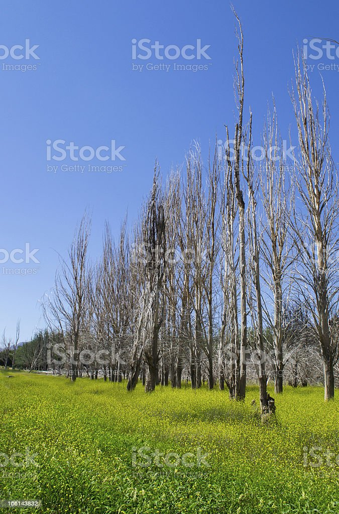 Dead trees over a field of flowers royalty-free stock photo