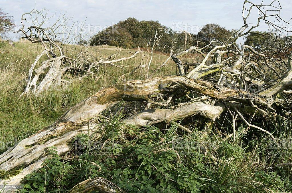 古い木ます。 ロイヤリティフリーストックフォト
