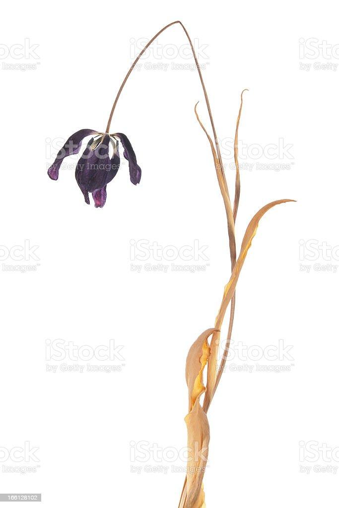 Dead Tulip stock photo