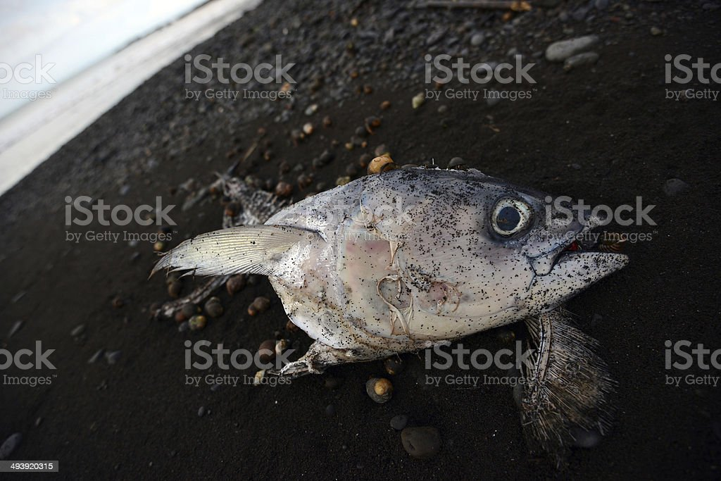 Dead tuna fish on beach because of pollution stock photo