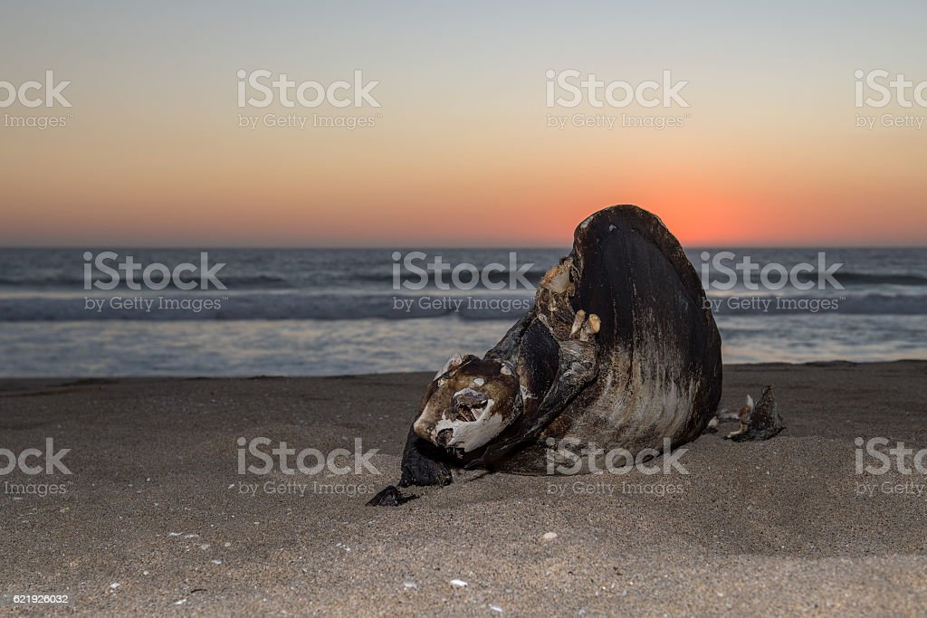 dead turtle on the beach at sunset stock photo