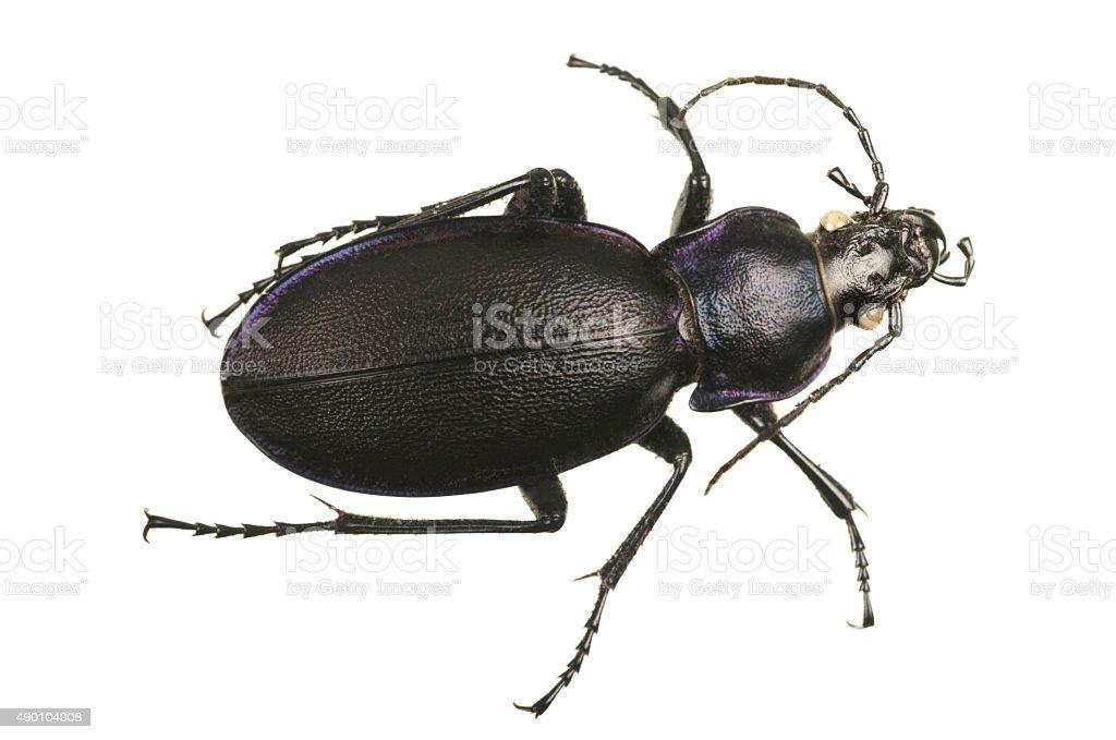 Dead violet ground beetle. stock photo