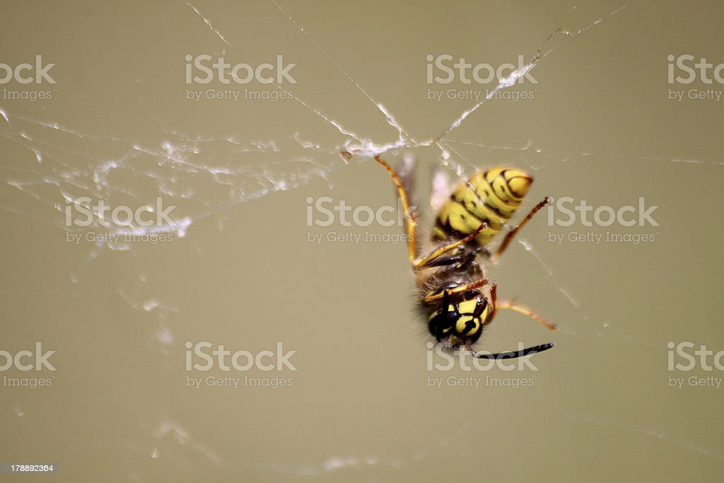 Dead wasp in a spider web stock photo