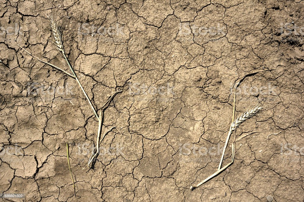 Dead wheat plants on cracked,dry soil. Directly above view. stock photo
