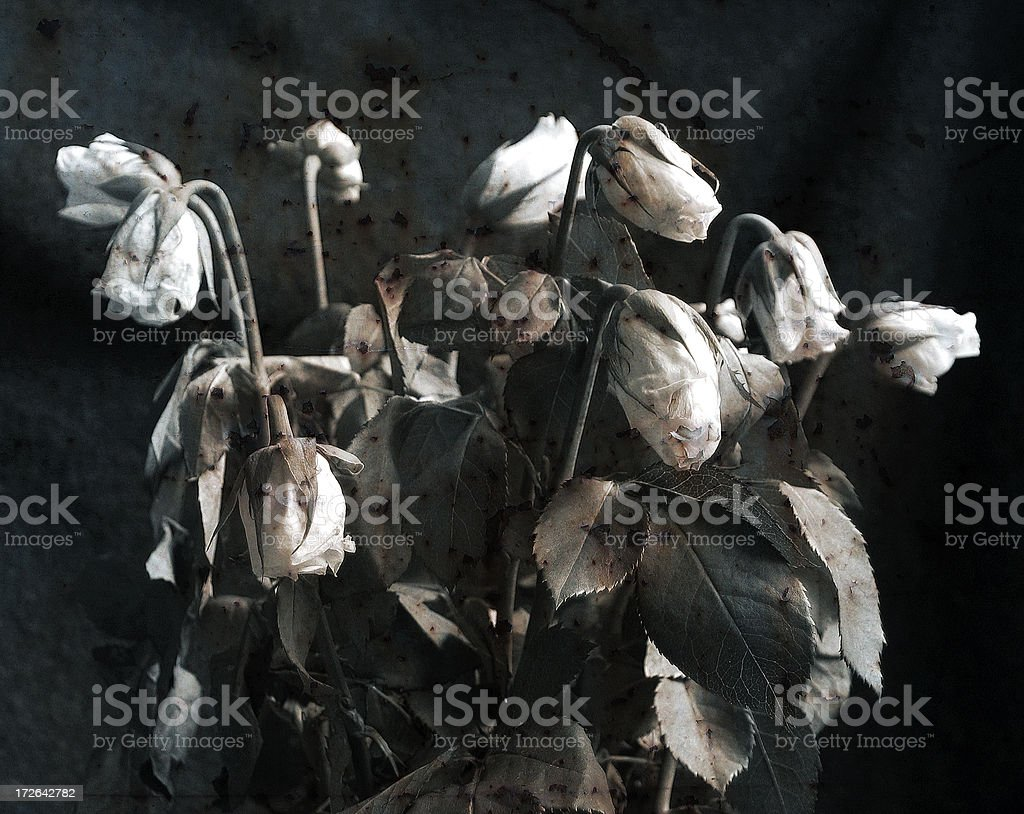 Dead white roses on black background royalty-free stock photo