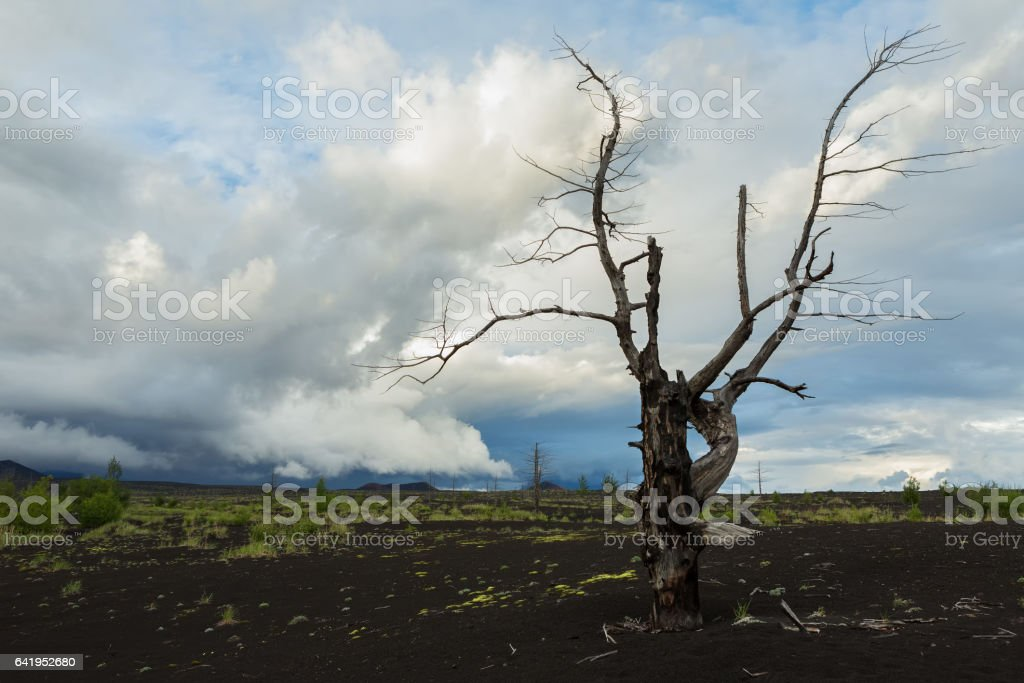 Dead wood - a consequence of a catastrophic release of ash during the eruption of the volcano in 1975 Tolbachik north breakthrough stock photo