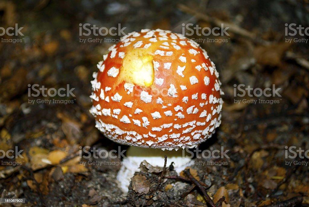 Deadly Bite, Fly Agaric Mushroom (Amanita Muscaria) stock photo