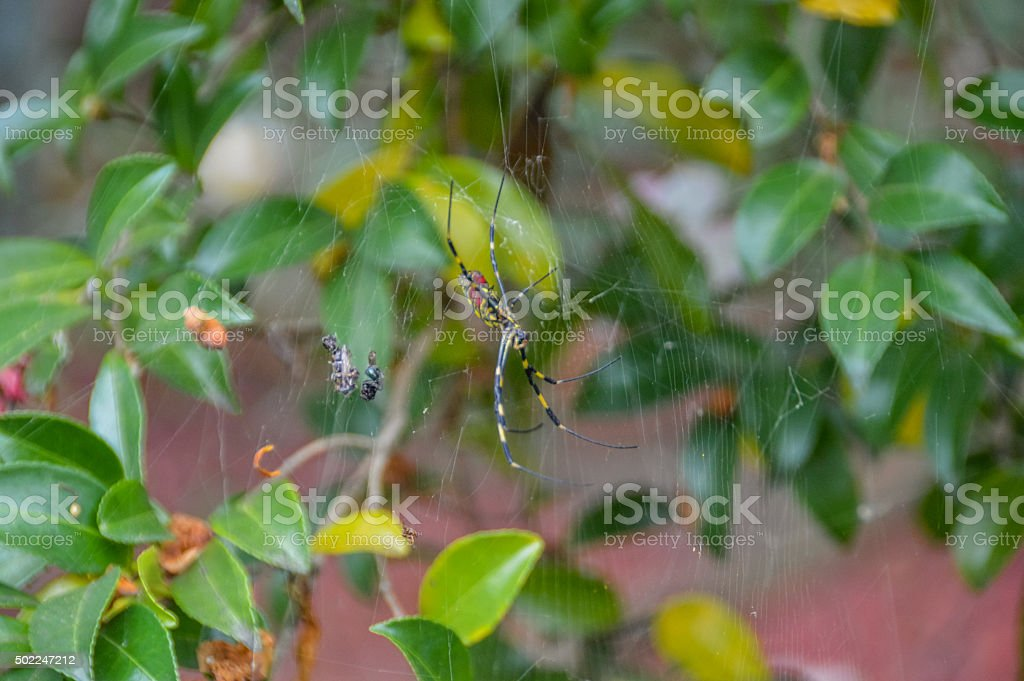 Deadly spider stock photo