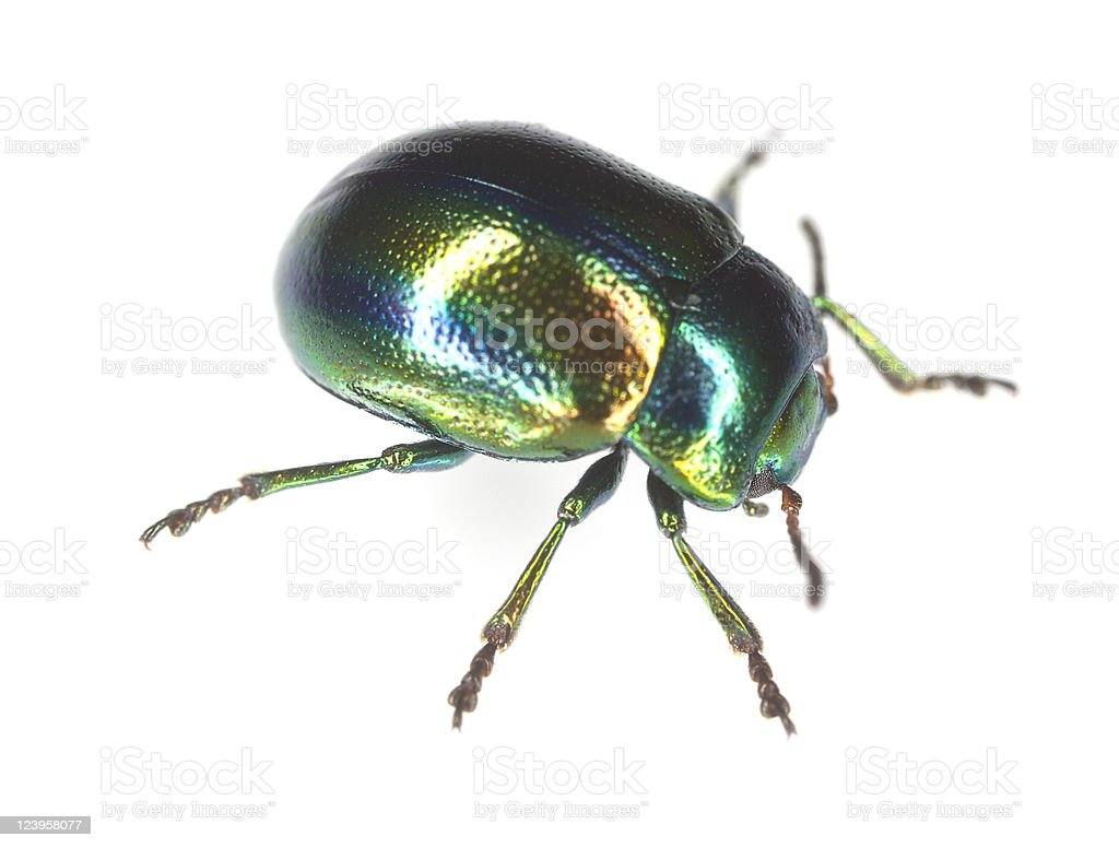 Dead-Nettle Leaf Beetle (Chrysolina fastuosa) isolated on white background stock photo