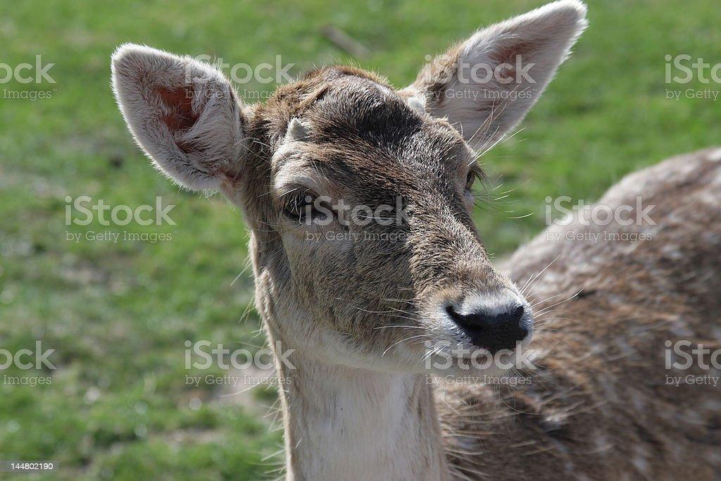 Dear doe, in a field stock photo