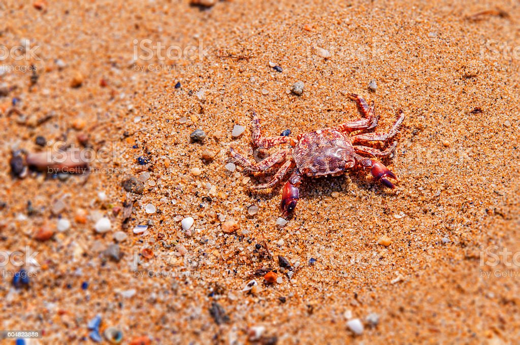 Death crab on beach close stock photo