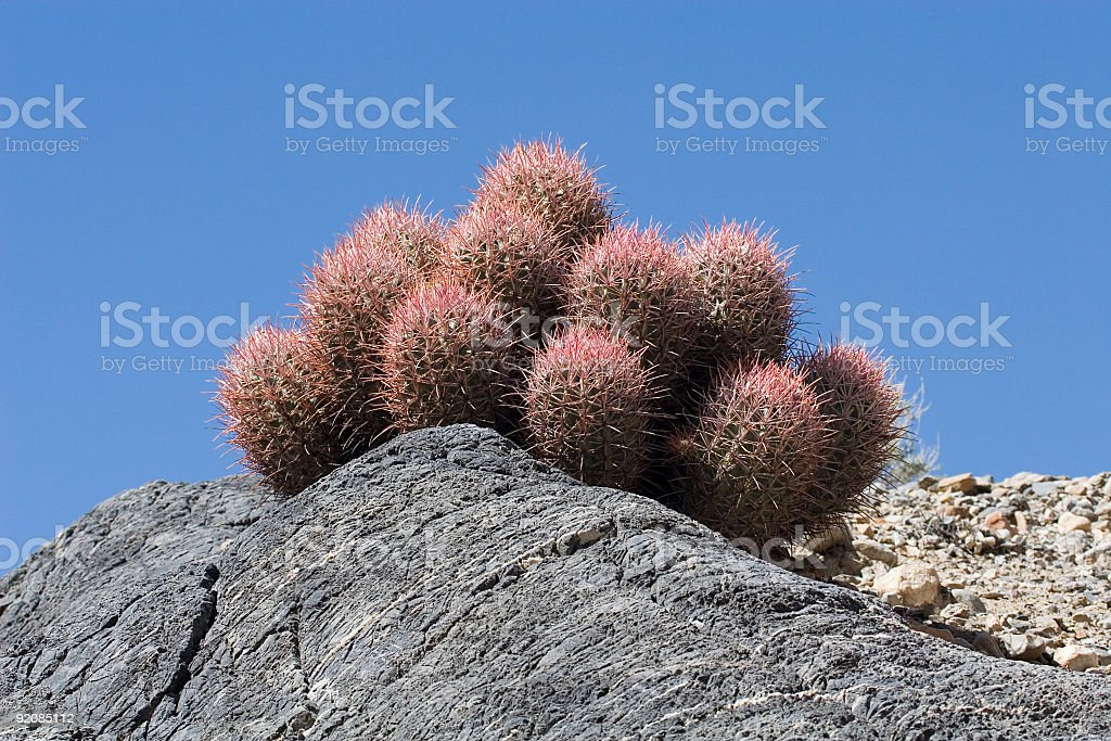 Death Valley Cactus royalty-free stock photo