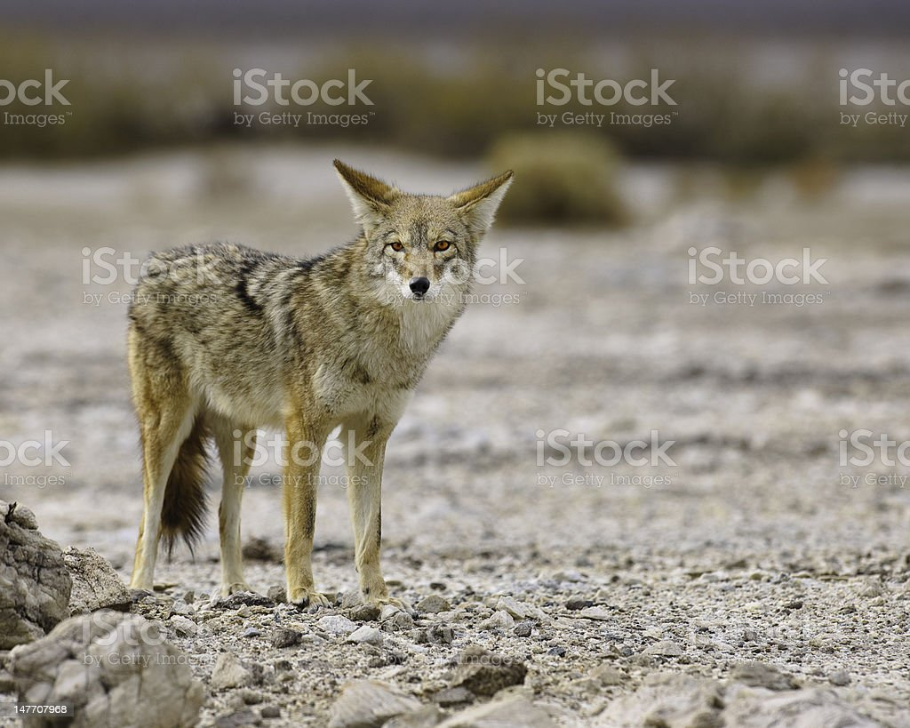 Death Valley Coyote Stare stock photo