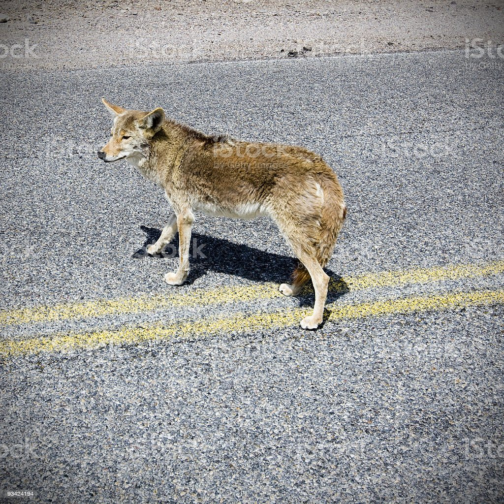Death Valley Highway Coyote stock photo