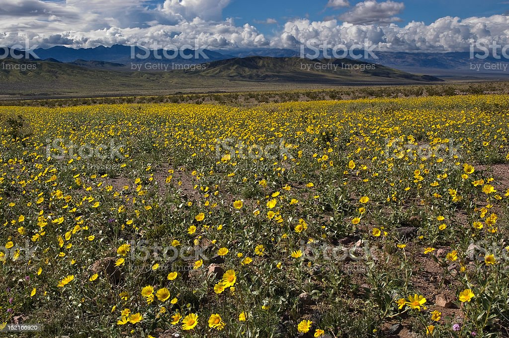 Death Valley in Bloom stock photo
