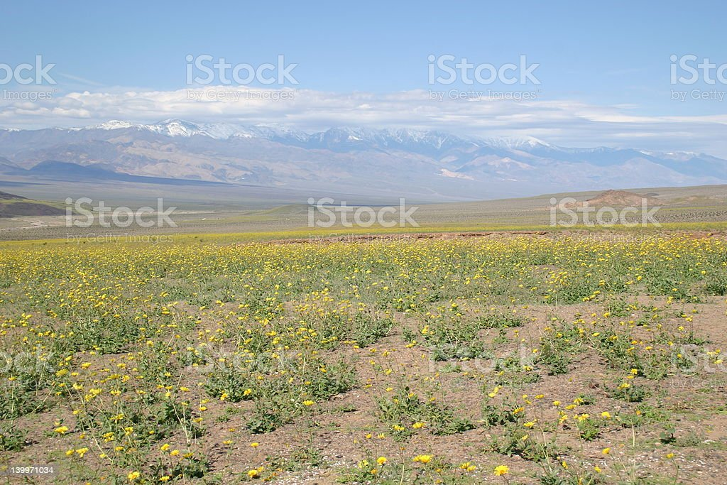 Death Valley in flower stock photo