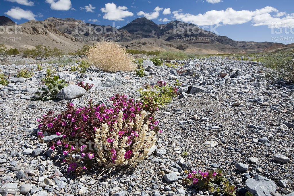 Death Valley Wildflowers stock photo