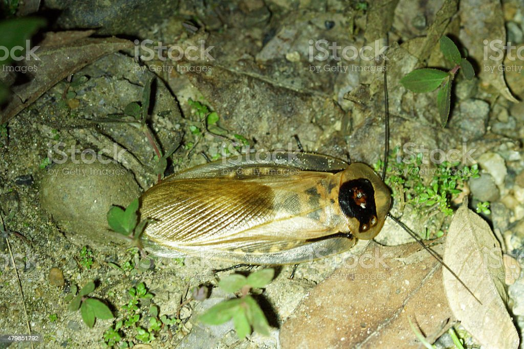 Death's head cockroach stock photo