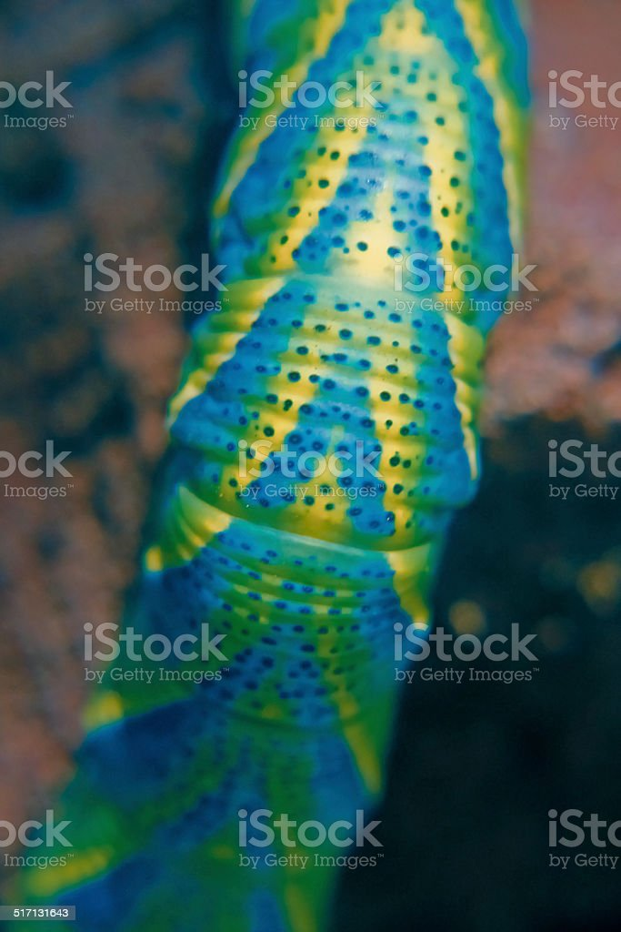 Death's Head Hawkmoth (Acherontia atropos) Caterpillar stock photo