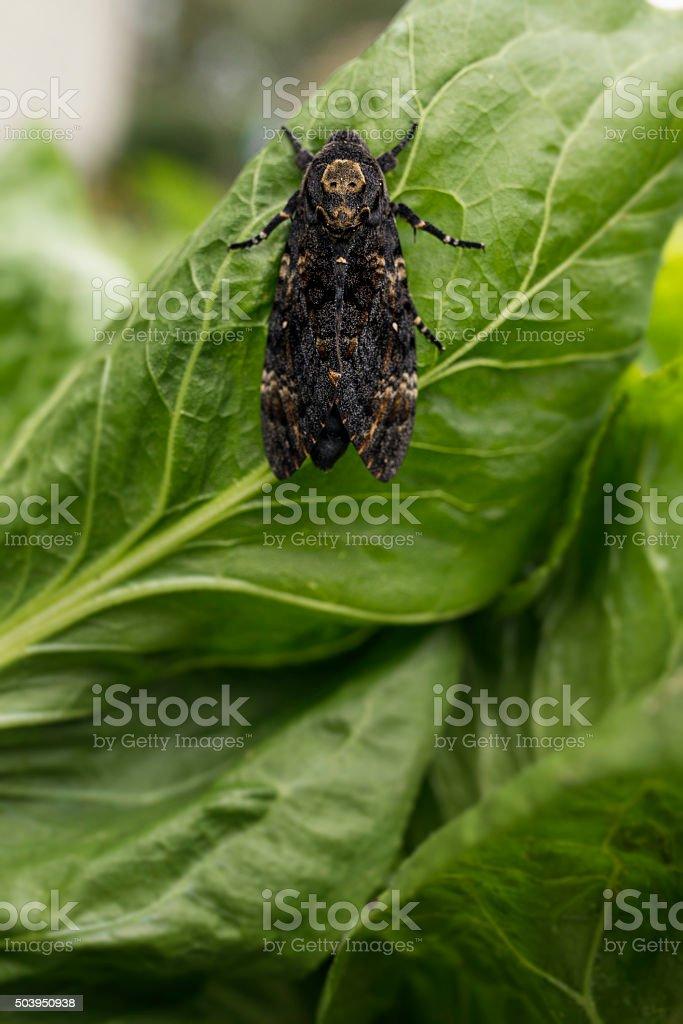 Death's-head Hawkmoth - Acherontia atropos stock photo