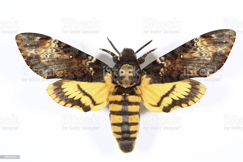 Death's-head Hawkmoth (Acherontia atropos) stock photo