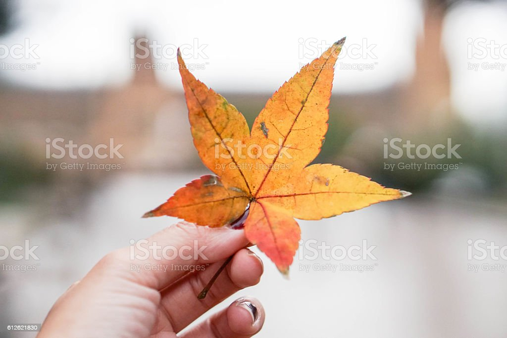 Decay and discoloured maple leaf with human hand stock photo