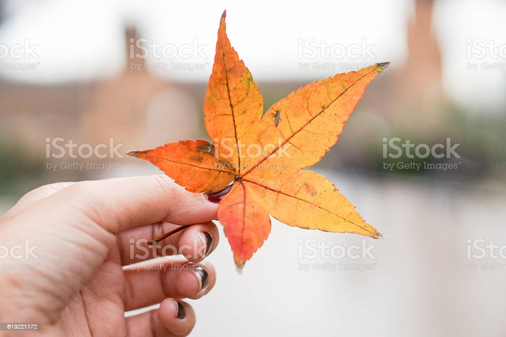 Decay maple leaf in human hand stock photo