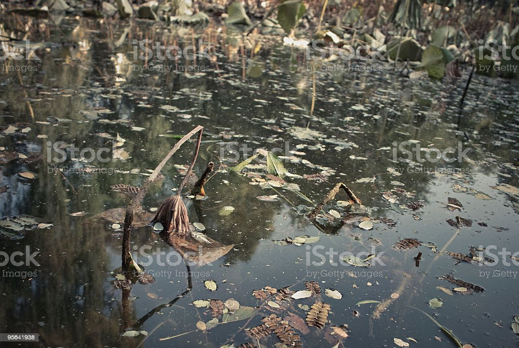 Decayed lotus in the pond royalty-free stock photo