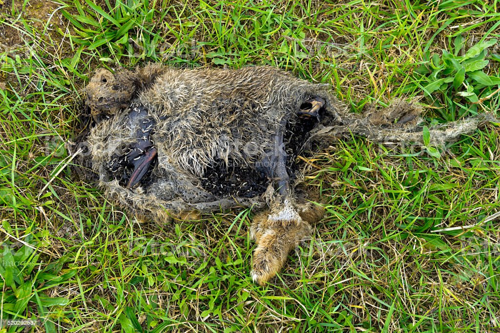 Decaying animal corpse with maggots stock photo