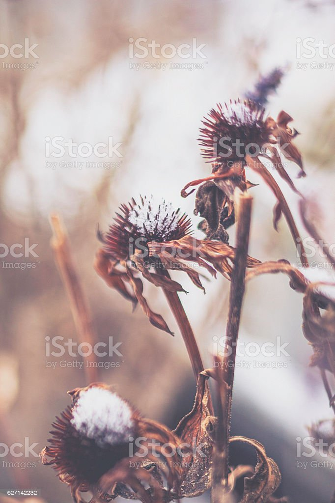 Decaying daisies with dusting of freshly fallen snow. Artistic nature stock photo