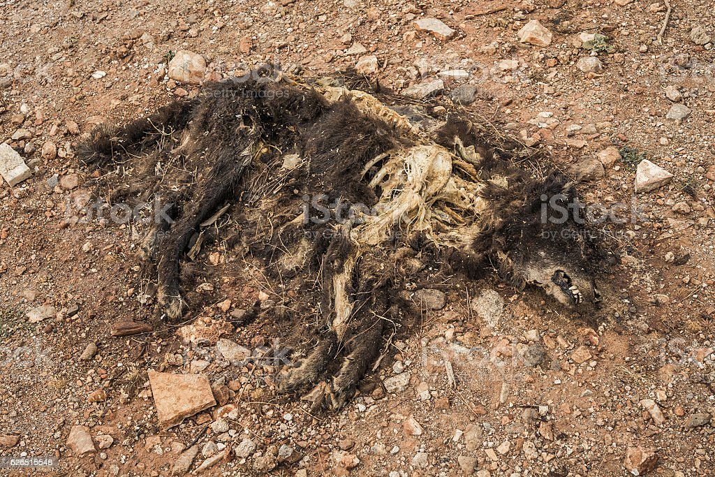 decaying dog corpse with visible skeleton stock photo