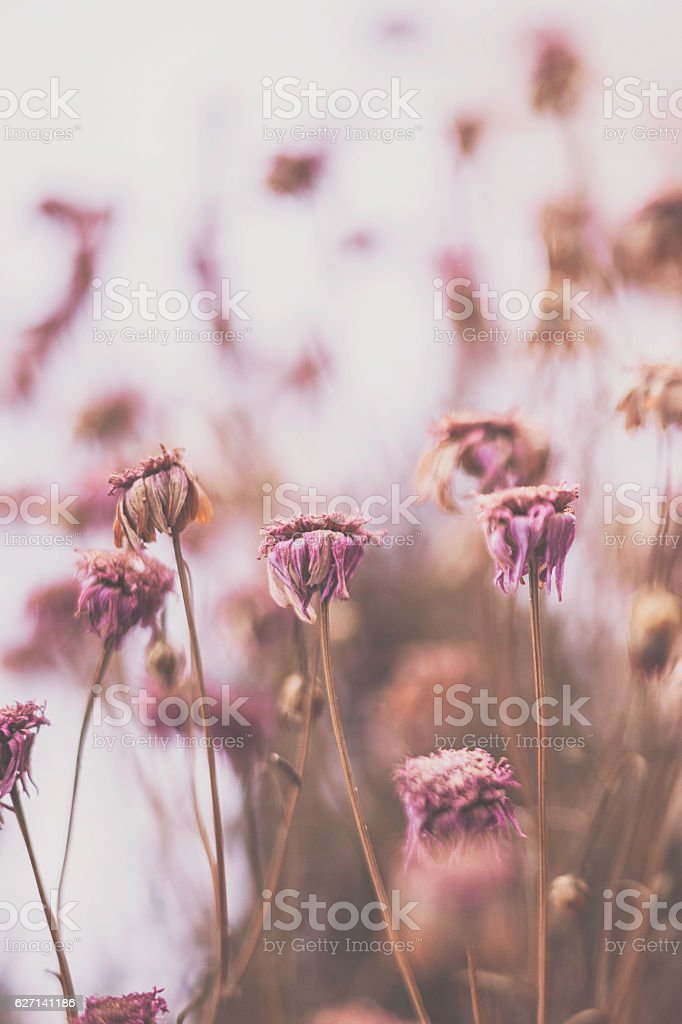 Decaying flowers frozen in winter snow. Artistic nature stock photo