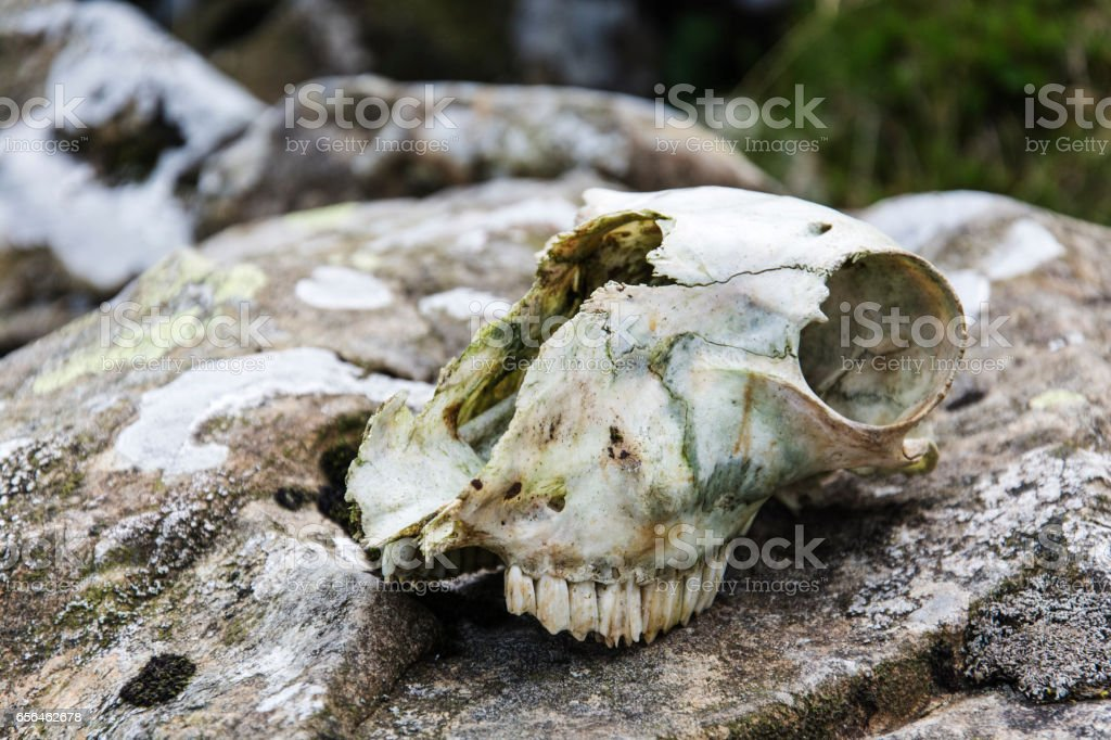 Decaying sheep skull stock photo
