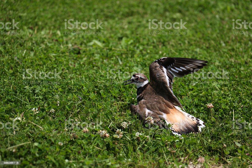 Deceitful Killdeer Bird Faking an Injury in the Grass stock photo