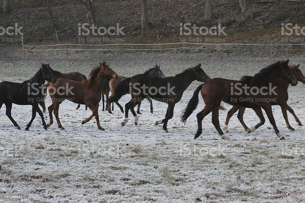 December meadow & running foals royalty-free stock photo