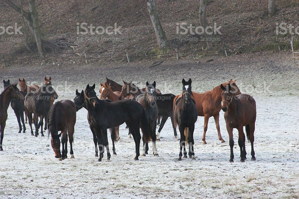 December meadow & standing foals royalty-free stock photo