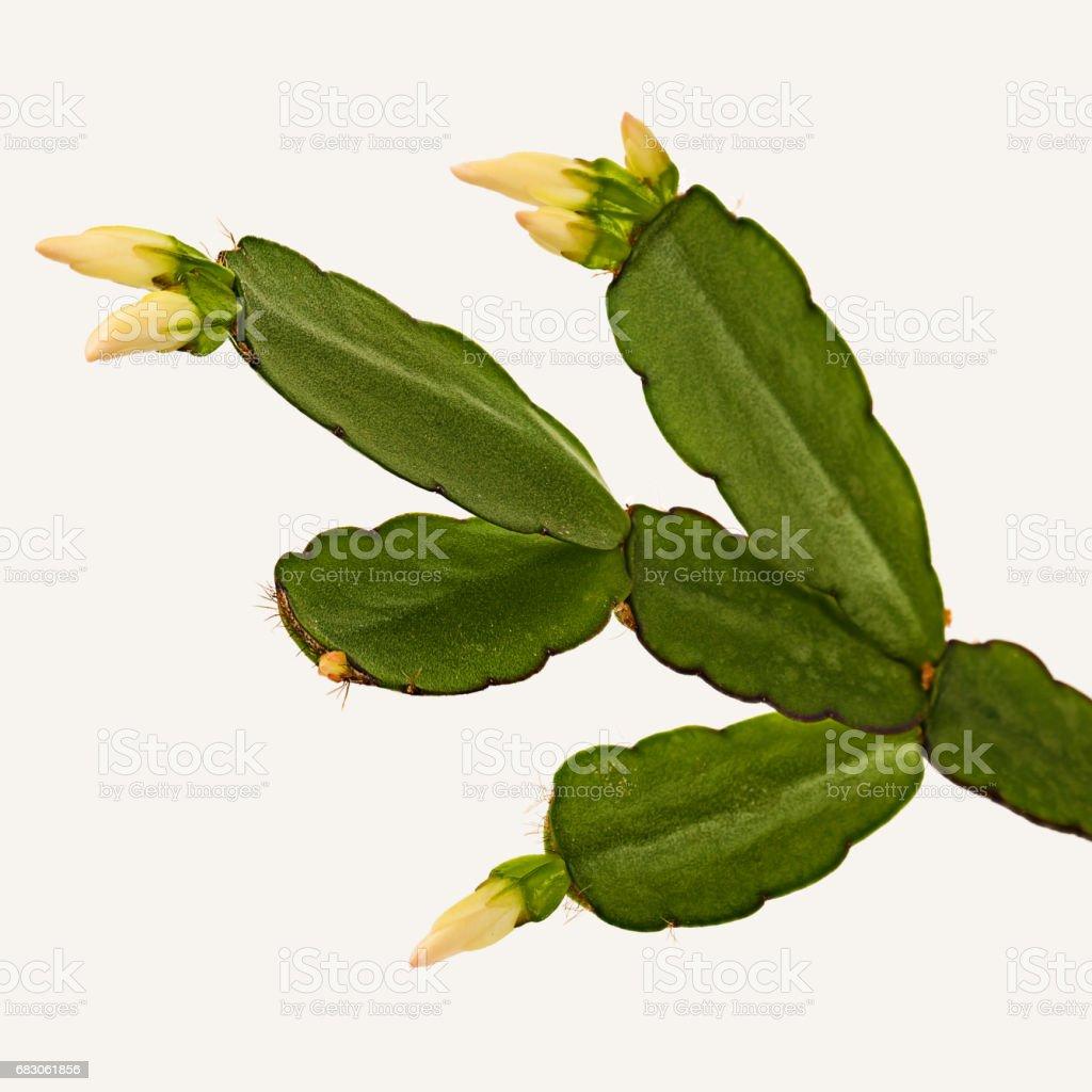 Decembrist flower. Cactus Schlumbergera truncata stock photo