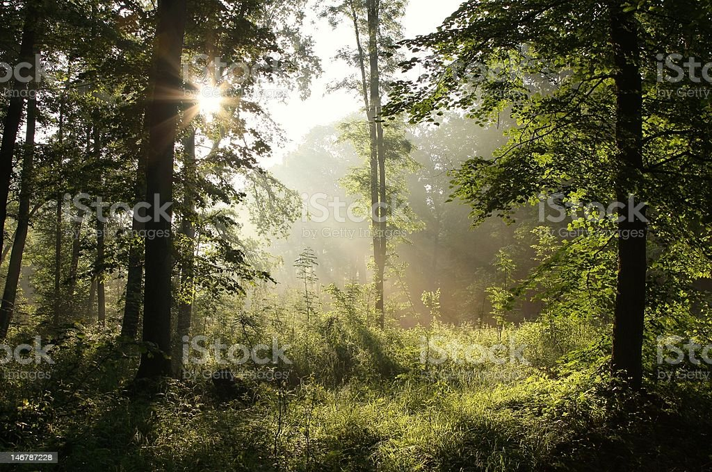 Deciduous forest at dawn royalty-free stock photo